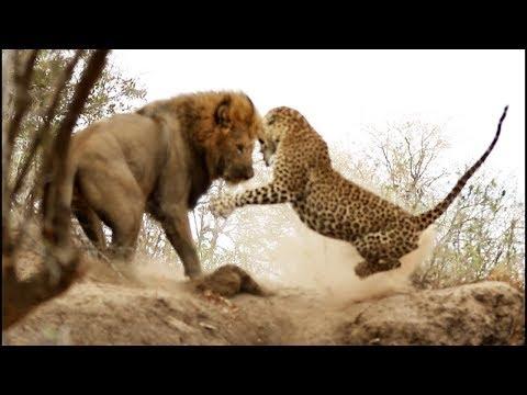 Версус. На что способен Леопард против льва, страуса, дикобраза!