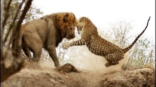 ВЕРСУС. ЛЕОПАРД В ДЕЛЕ! Леопард против льва, страуса, дикобраза!