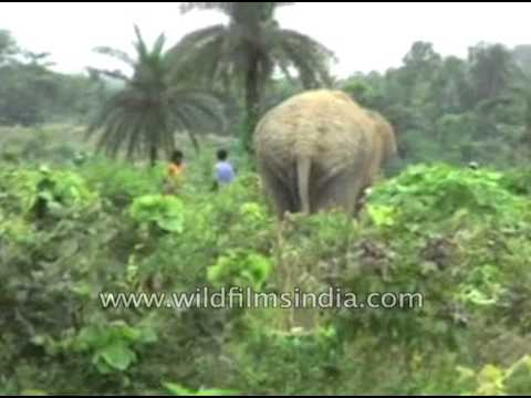 Elephant comes in vicinity of village in Bankura, West Bengal