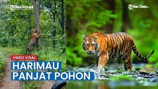 Viral Harimau Muncul di Hutan Kampung Grobogan Bahkan Panjat Pohon