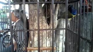 Burung sogok ontong (sriganti) gacor 1