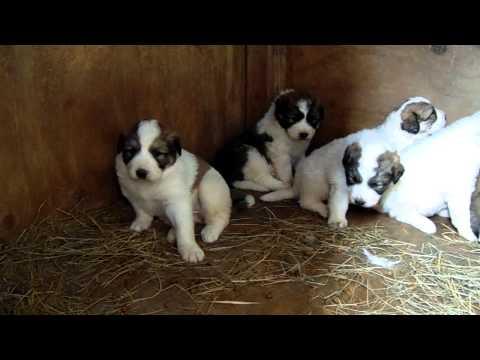Livestock guardian dog video Puppy update Video #3