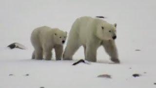 Polar Bear Live Stream for International Polar Bear Day | The Dodo