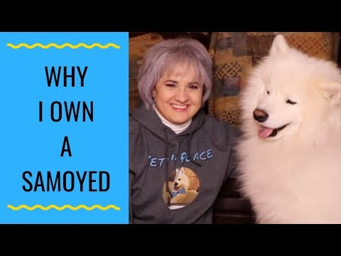 Why I Own A Samoyed
