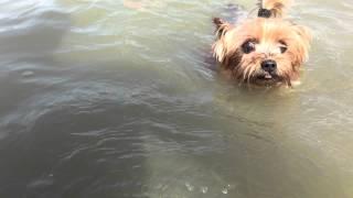 Fila (yorkshire Terrier) úszik A Dunába.