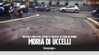 - iscriviti al canale: http://fanpa.ge/khck2misteriosa moria di uccelli a roma, in zona porta pia, dove da giorni sono presenti decine carcasse strada....