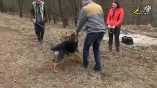 Воспитательная дрессировка щенка, Кризис зависимости и период непослушания