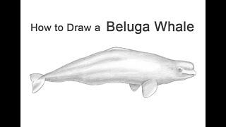How to Draw a Beluga Whale YouTube