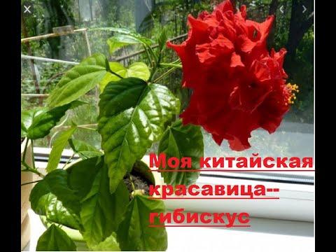 Уход и размножение китайской розы - гибискус.