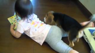 ビーグルの赤ちゃん 7月22日生まれ ベルちゃんが、次女を教育してい...