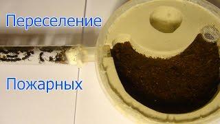 Переселение муравьёв Pachycondyla rufipes + Бонус: процесс окукливания личинок