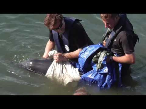 Brixham Harbour Dolphin Strandings 23/08/2016 NO EDITS