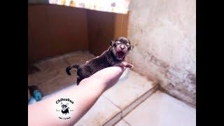 Quá trình đỡ đẻ và chăm sóc Chihuahua con (Part 8)