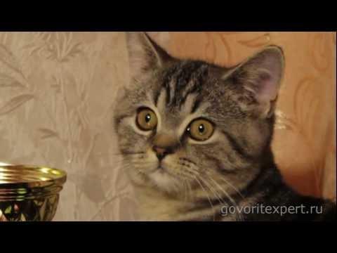 Вопрос: Почему кот, вислоухий британец постоянно кряхтит?