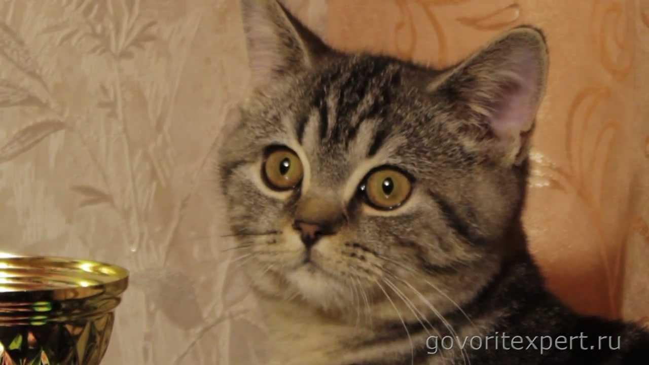 Британские коты агрессивны