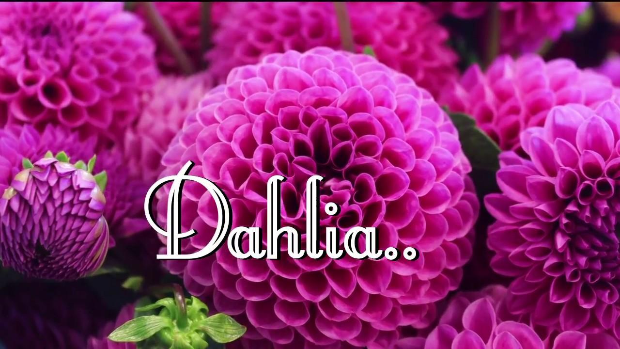 Top most beautiful dahlia flowers dahlia dahlias part 2 top most beautiful dahlia flowers dahlia dahlias part 2 izmirmasajfo