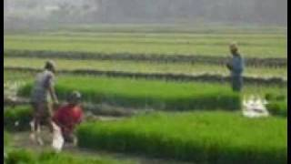 Serumpun padi oleh R Maladi di nyanyikan oleh Kie ( Bebaskan kreasi anak negeri )