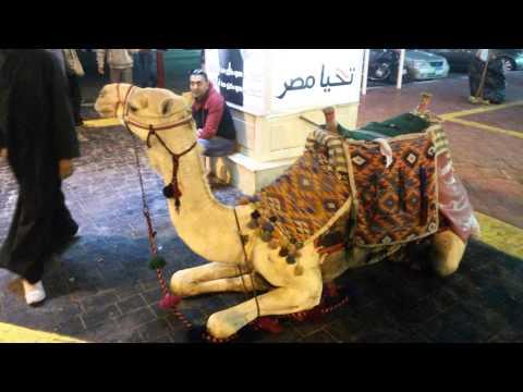 Верблюд - # 31 (Camel in Sharm)