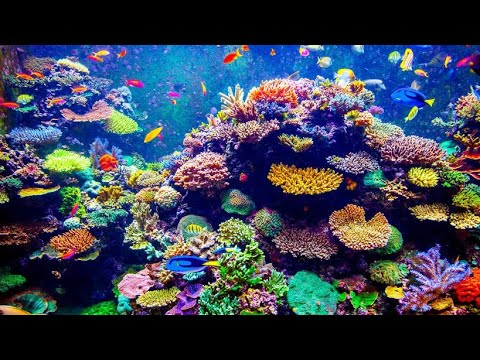 Coral Reef Aquaculture Farm Dive in Indonesia - Hidden Gardens the Documentary
