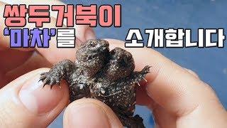 새식구 샴쌍둥이 거북이가 한마리 도착했어요