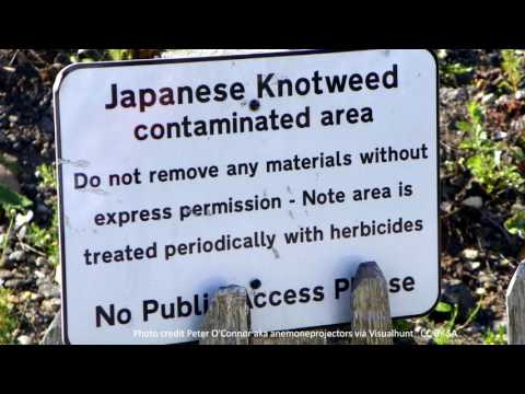 Japanese Knotweed - by Clutton Cox Solicitors