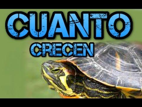 Cuanto crecen las tortugas de Florida/Galapagos/Trachemys Scripta Elegans