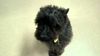 Oscar And Roscoe, Miniature Schnauzer Mixes Available For Adoption At The Wisconsin Humane Society