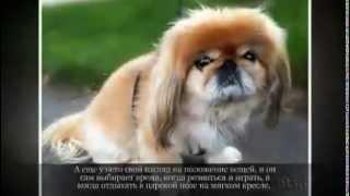Маленькие породы собак ПЕКИНЕС