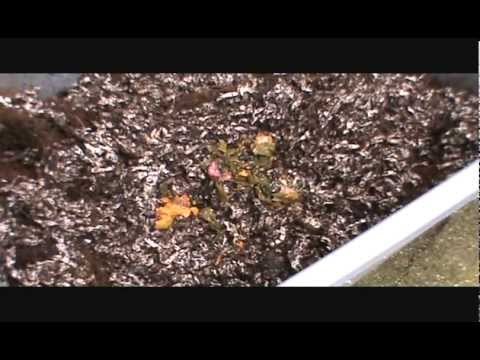Vermicomposting (Worm Bin) - Tips & How To's, Feeding the Worms, BABY WORMIES!