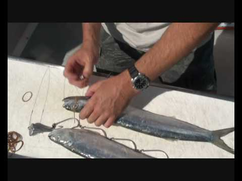 How to rig a wolf herring for spanish mackerel fishing for Translate fish to spanish