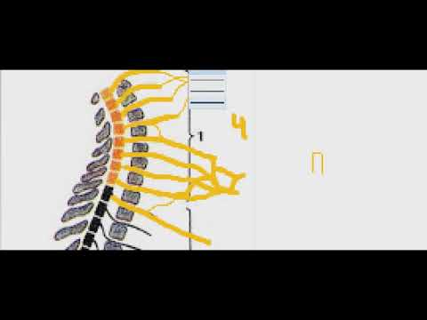 Спинномозговые нервы  передние ветви  Шейное сплетение  Чувствительные ветви. Часть 2