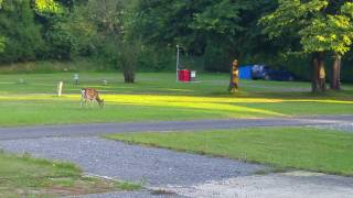 Deer in Camping Area - 2016