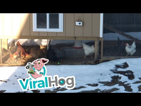 Chickens Chase Laser Pointer || ViralHog