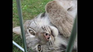 "Maxwell ""Max"" Canada Lynx Happy 6th Birthday!"