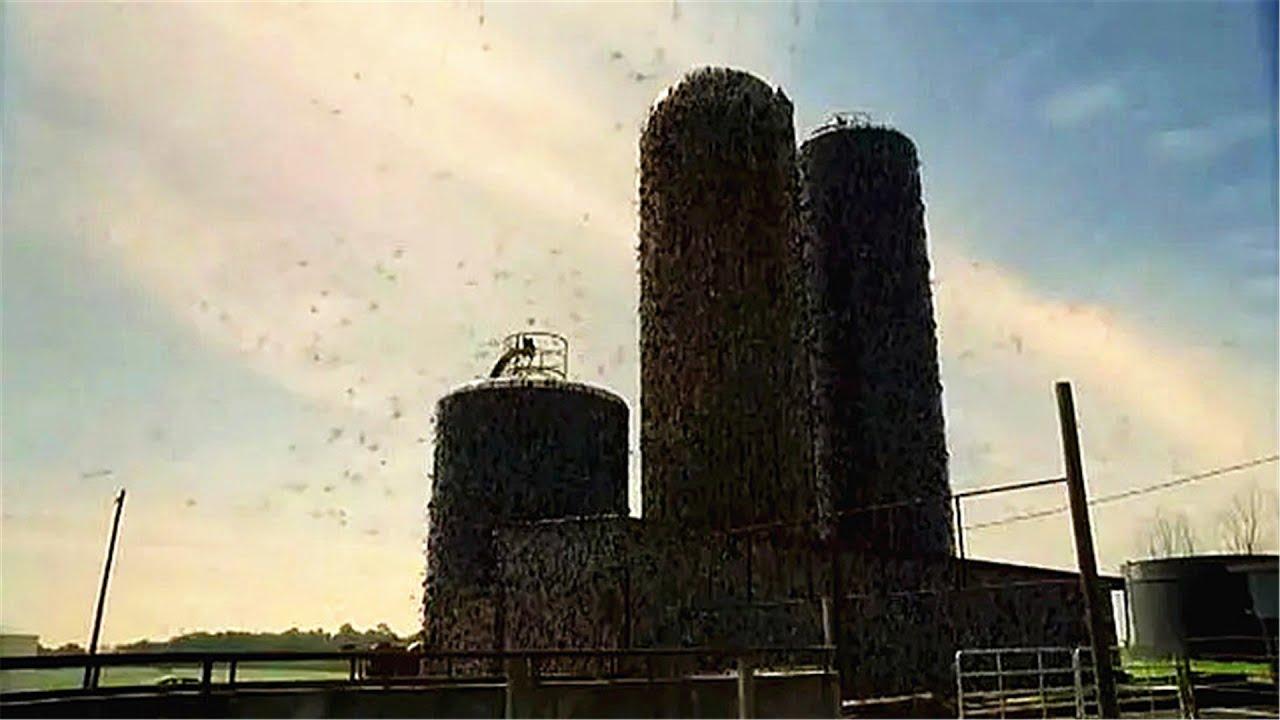 美国蝗虫泛滥成灾,军方脑洞大开给建筑物通电,把蝗虫全电熟了!