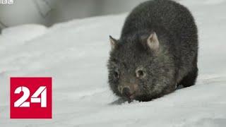 Леса в огне, вомбаты в снегу: Австралия во власти аномалий - Россия 24