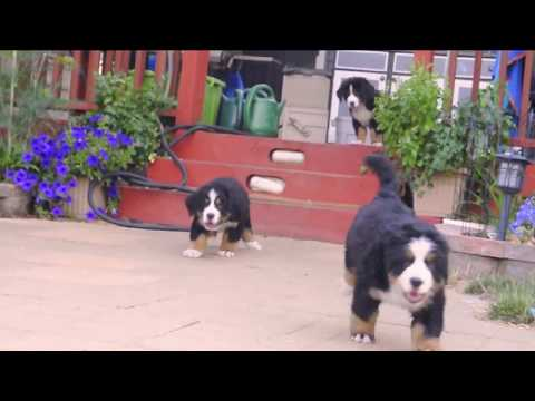 Chicago's Own Too Cute Bernese Mountain Puppies (8 weeks old)