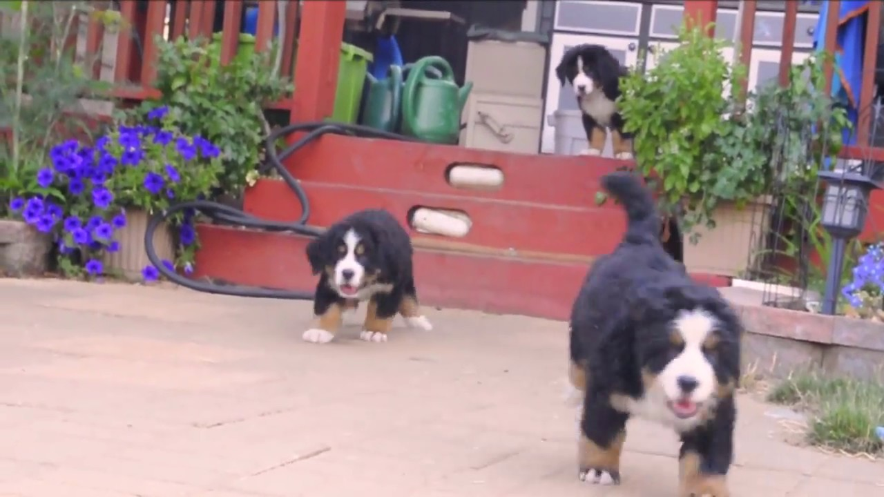 Bernese Mountain Dog Puppies Youtube