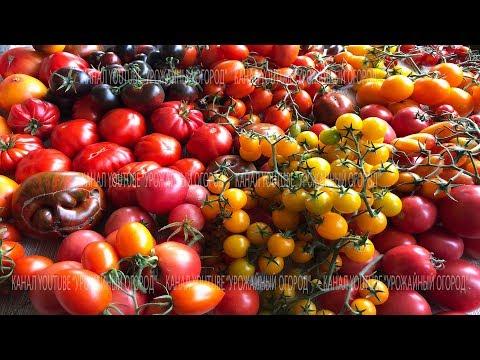ОБ ЭТОМ ТОМАТЕ МЕЧТАЮТ ВСЕ! ПОСАДИЛ И ЗАБЫЛ! | монгольский | выращивание | вырастить | томатов | теплице | теплица | томаты | монгол | карлик | грядка