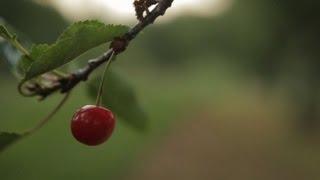 A Sour Season for Michigan Cherry Farmers