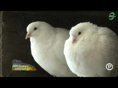 paraziti intestinali la porumbei)