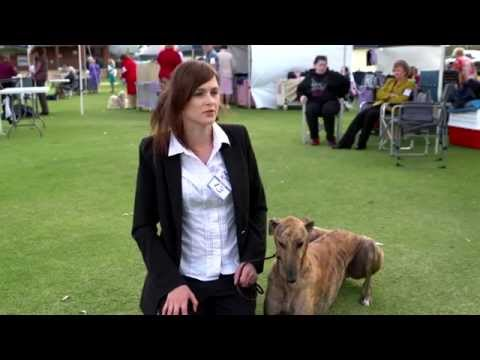 Greyhounds at the Dog Show