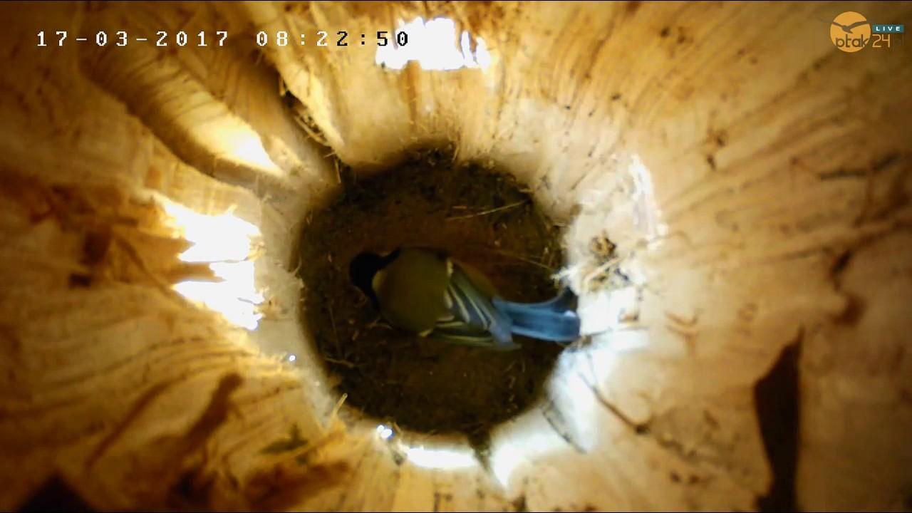 Sikorki bogatki w dziupli lęgowej #02 nad Soliną