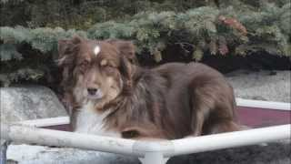 Austin (mini Australian Shepherd) Dog Training Demonstrational Video