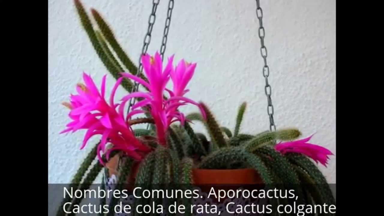 Cactus de cola de rata cactus colgante aporocactus youtube for Nombres de cactus