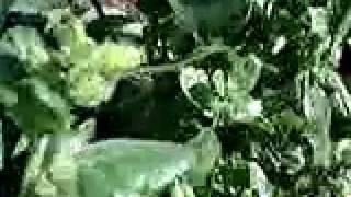 "Nicotiana rustica ""mapacho"" sur Ethnoplants.com"