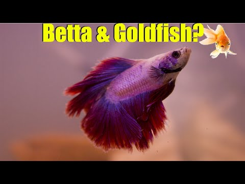 Can Betta Live With Goldfish