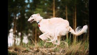 【ボルゾイ】スマートで気品あふれる姿が特徴的なボルゾイの優れた能力を知ろう【犬を知る】 thumbnail