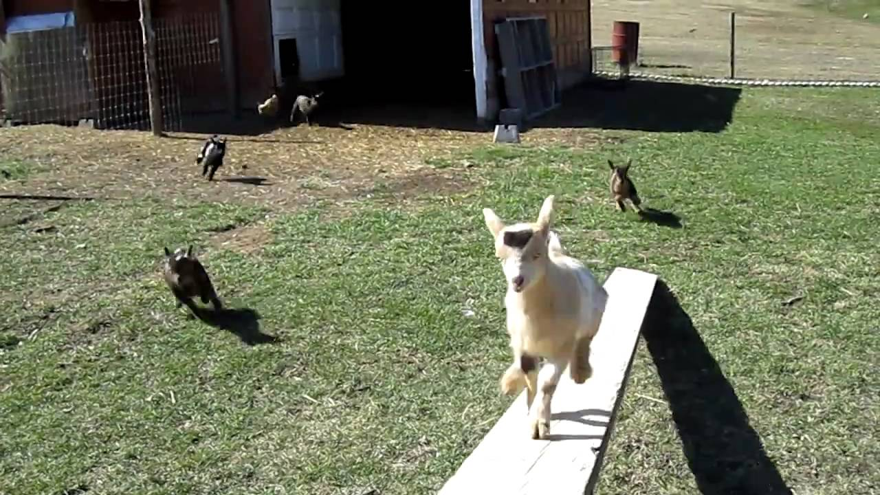 hilarious nigerian dwarf goats youtube