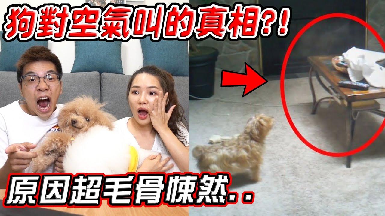 【都市傳說】五個狗狗突然對空氣叫的真相 原因讓姐弟當場嚇壞..?!【希露弟弟啃雞腿】比熊 貴賓 Bichon Frise Poodle